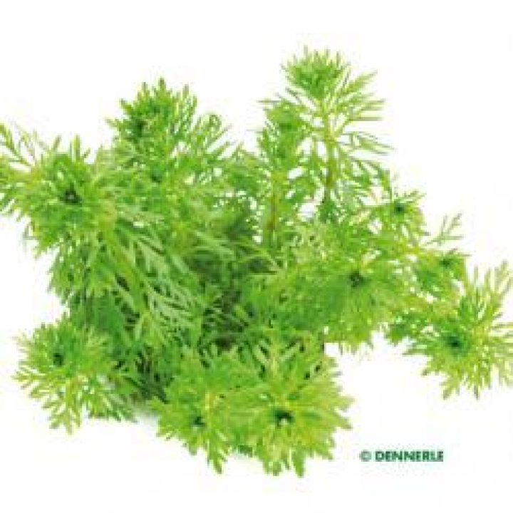 Limnophila sessiliflora - medium Categ.