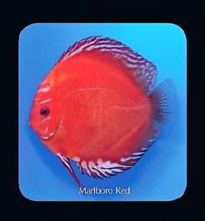 Discus Marlboro Red 14cm