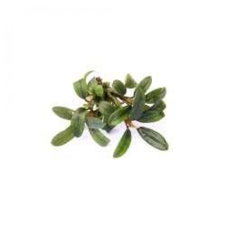 Bucephalandra spec. 'Mini Needle Leaf' - easy Categ.