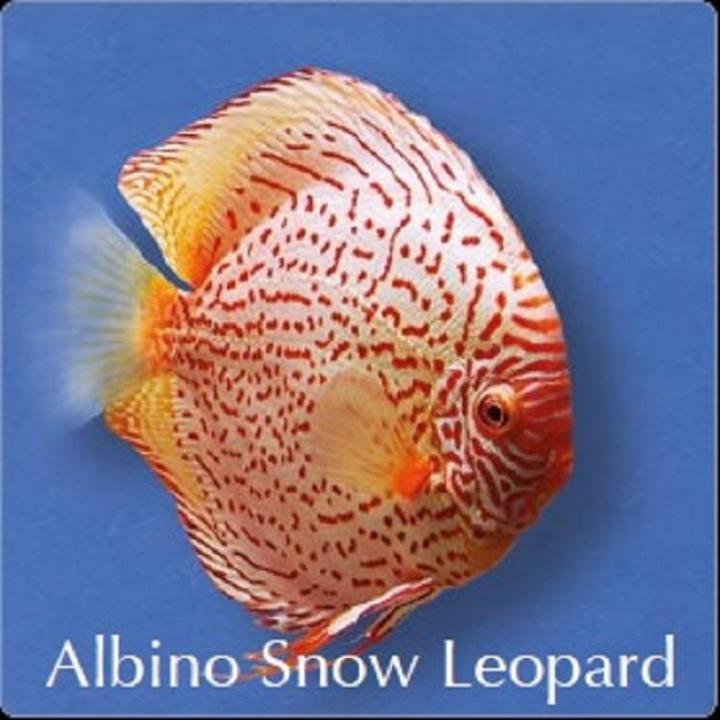 Discus Albino Snow Leopard 8cm