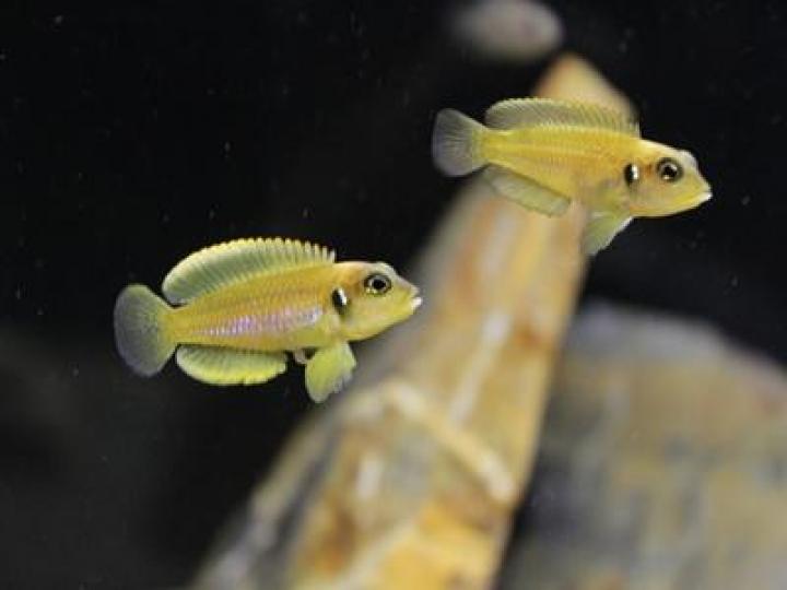 LAMPROLOGUS OCELLATUS GOLD XL