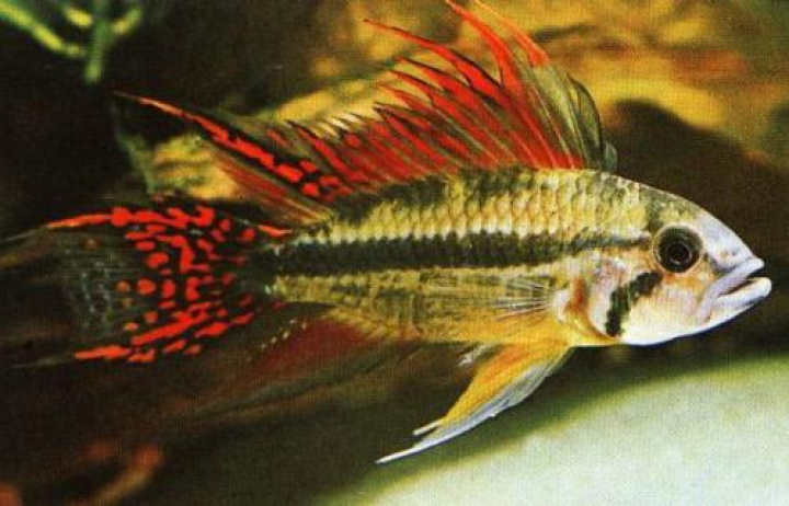 APISTOGRAMMA CACATUOIDES RED pairs L