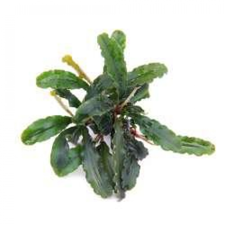 Bucephalandra spec. 'Wavy Leaf' - easy Categ.