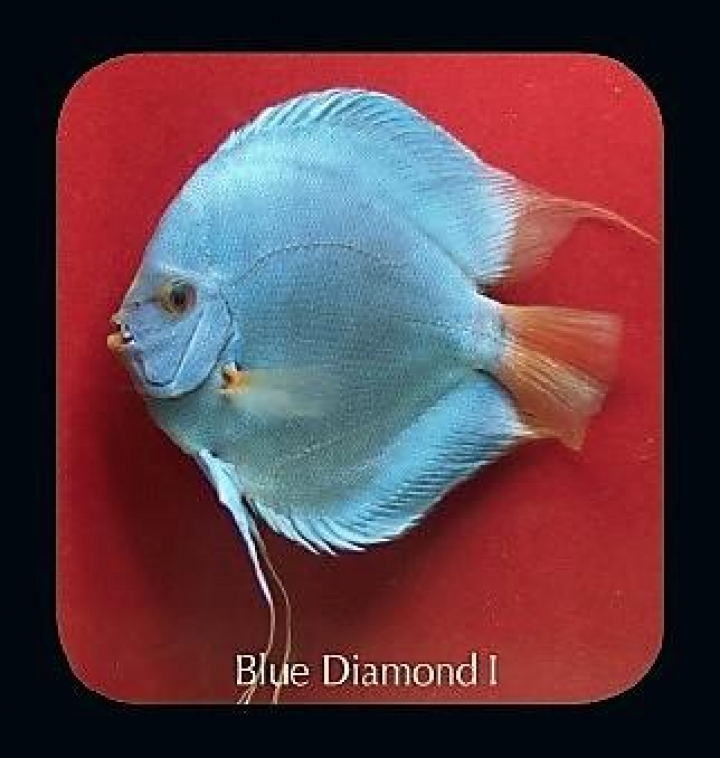 Discus  Blue Diamond I 8cm