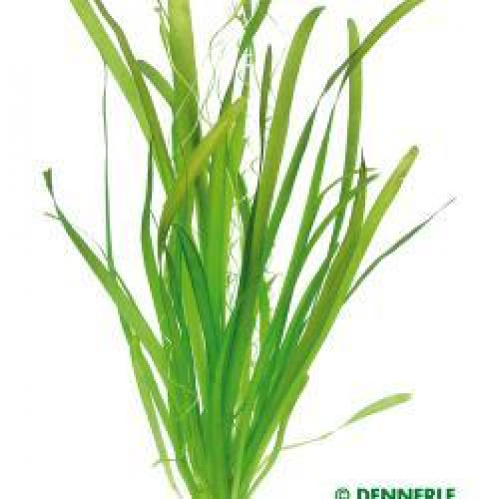 Vallisneria australis 'Gigantea' - easy Categ.
