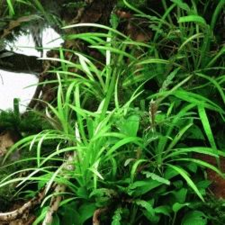 Helanthium tenellum 'Broad Leaf' In-Vitro - medium Categ.