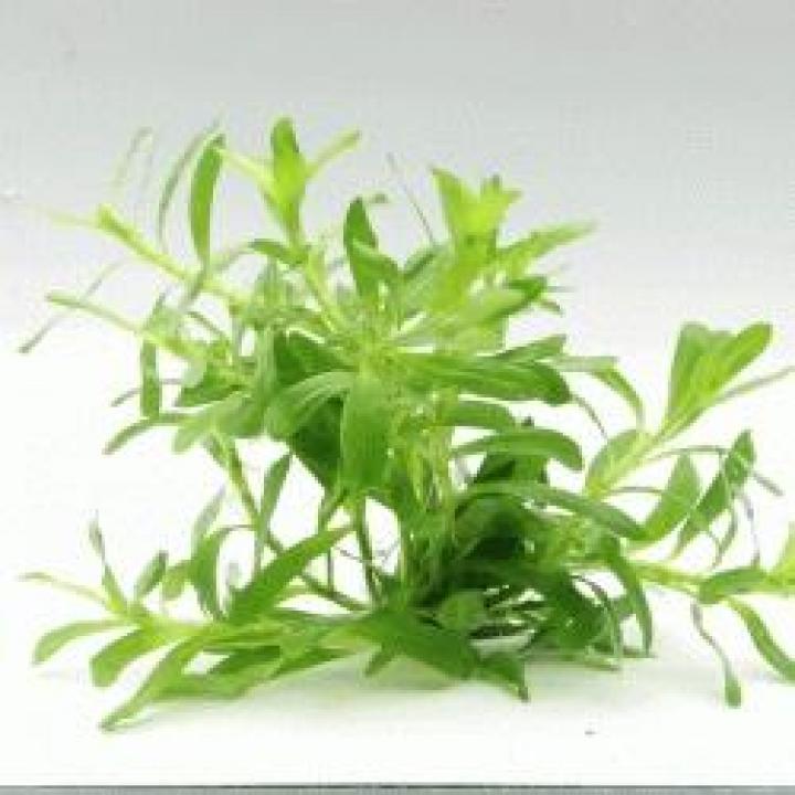 Heteranthera zosterifolia In-Vitro - medium Categ.