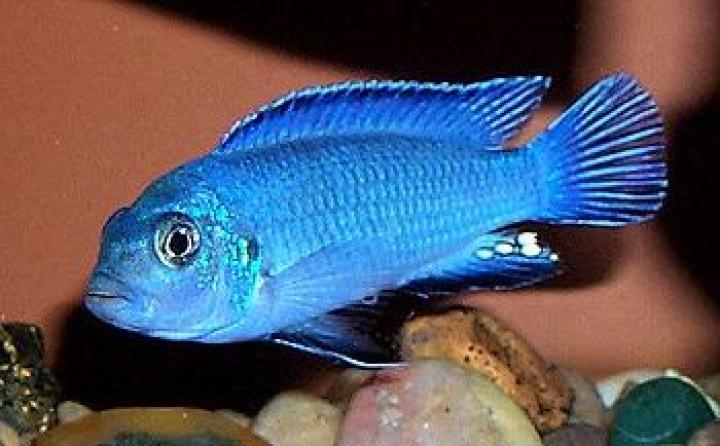Pseudotropheus socolofi Powder Blue Cichlid
