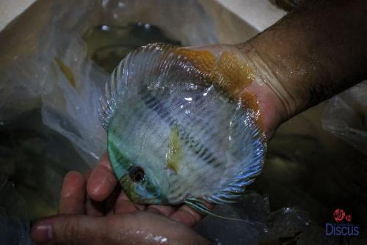 Paunini blue face heckel ml/lg