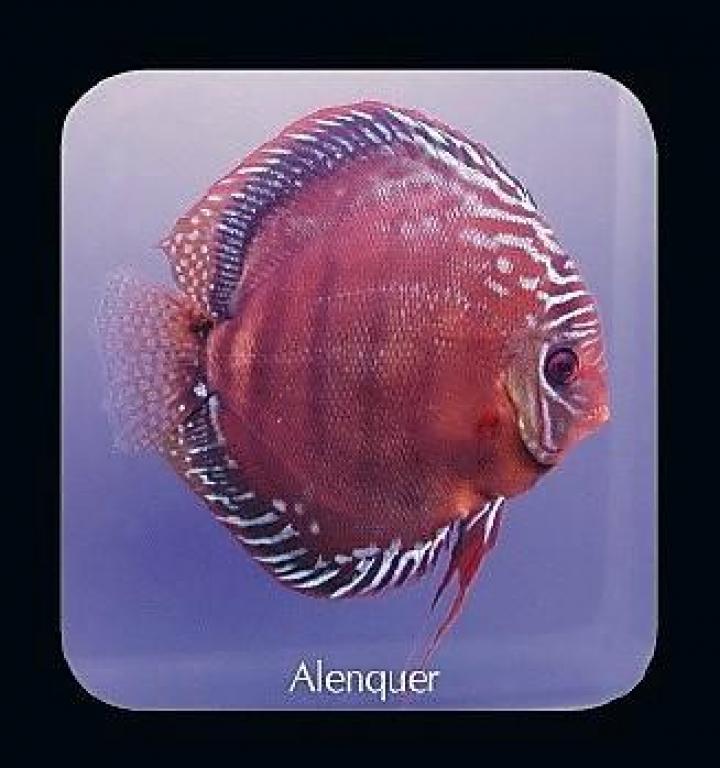 Discus  Alenquer 15cm - Casal confirmado