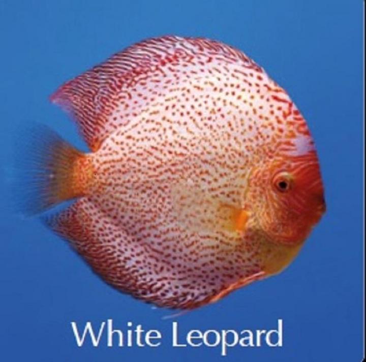 Discus White Leopard 8cm