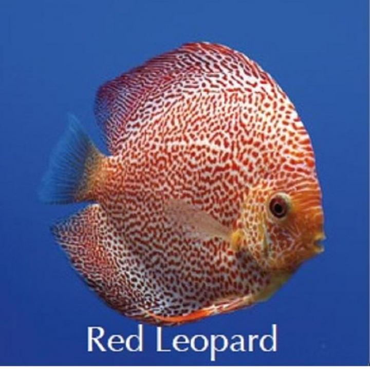 Discus Red Leopard 8cm