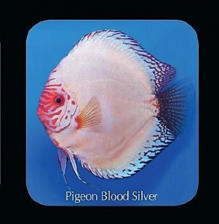 Discus Pigeon Blood Silver 5cm