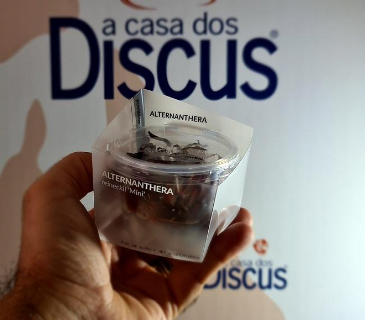 Alternanthera reineckii'Mini' In-Vitro Cup