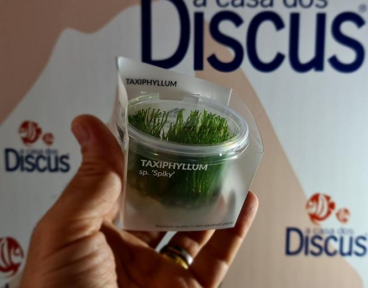 Taxiphyllum sp. 'Spiky' - In Vitro Cup