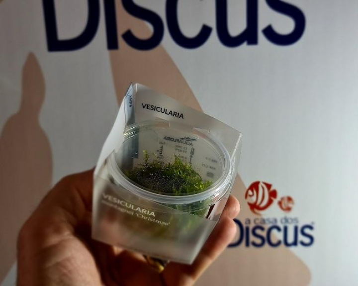 Vesicularia montagnei 'Christmas' - In Vitro Cup